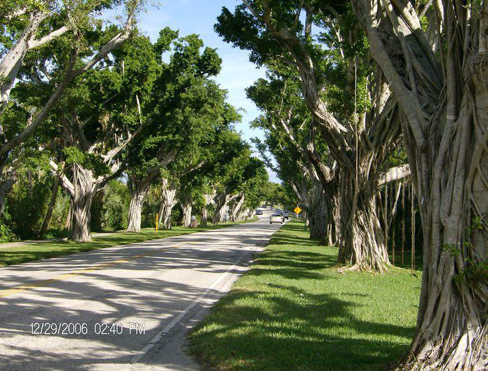 These banyan trees are on the way to Jupiter Lighthouse on Jupiter Island, Florida. Graciously sent to me by Faith from Pennsylv