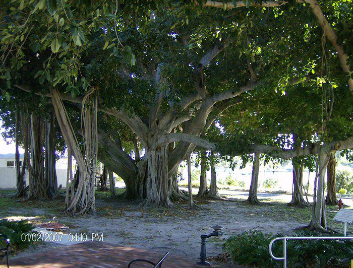 This banyan tree is at Jupiter Lighthouse on Jupiter Island, Florida. Graciously sent to me by Faith from Pennsylvania. Thanks F