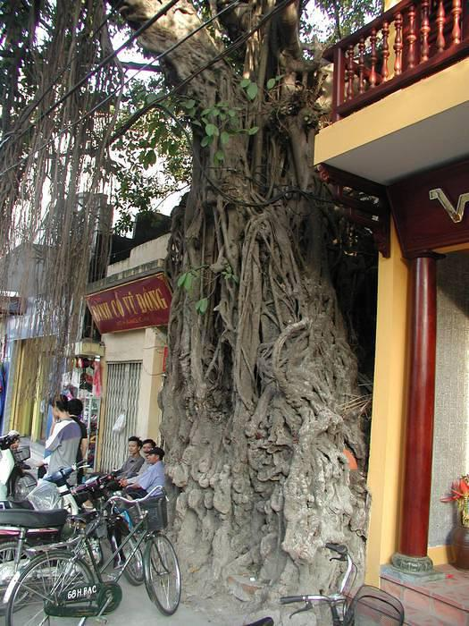 Fascinating, excellent Banyan Tree with a very interesting tale to tell... perhaps of the of history in this part of Hanoi. Look