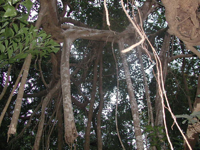 Picture of the Great Banyan Tree (where people actually sleep in the branches) in the forest near Arambol, Goa.