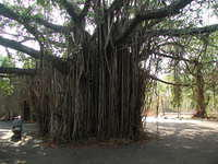 The Great Banyan Tree, on the way to Arambol.